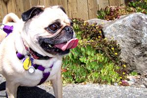 Sniff Seattle Dogs, Pugs, Dog Sitter Montlake