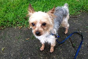 Magnolia Dog Walking, Yorkies, Sniff Seattle Dog Walkers