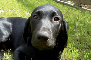 98199 Dog Walkers, Labrador Puppies, Sniff Seattle Bellevue