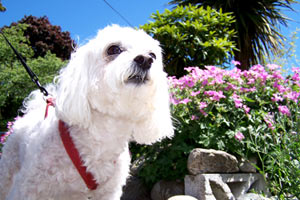SNIFF Seattle Dog Walkers, Malteses (Dogs), Bellevue Pet Care Seattle