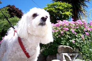 Sniff Seattle Dog Walkers, Malteses (Dogs), Pet Sitter Seattle Bellevue