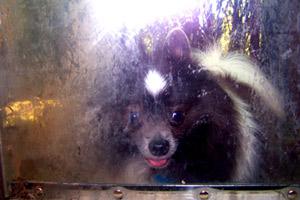 Sniff Seattle Bellevue Dog Walkers, Pomeranians, Pet Sitter 98115
