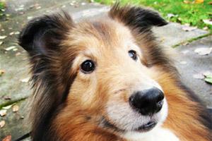 Sniff Seattle Bellevue, Shelties, West Lake Hills Dog Walking