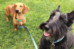 Mercer Island Dog Walking, Dachshund, Scottish Terrier
