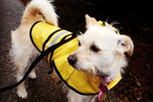 Dogs In Raincaots, Bellevue Seattle Dog Walkers, Dog Walking 98007
