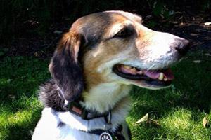 Dog Walker Issaquah, Beagle, Dog Walking 98027 98029
