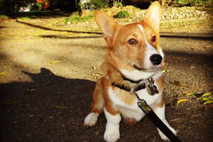 Corgis, Dog Walker Bellevue, SNIFF Seattle Dog Walkers Of Bellevue