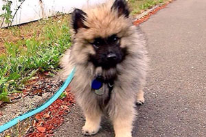 Lord Of The Rings, Dog Walking Kirkland, Keeshond
