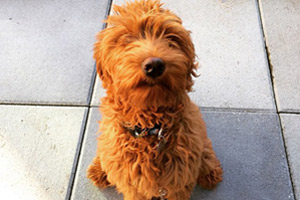 Mercer Island Dog Walking, Labradoodles, Dog Walker 98040