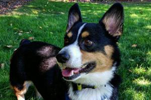 Issaquag Dog Walking, Corgi, Dog Walker 98027 98029