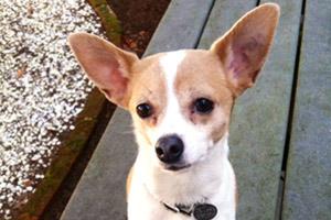 Dog Walking Kirkland, Kirkland Dogs, Chihuahua
