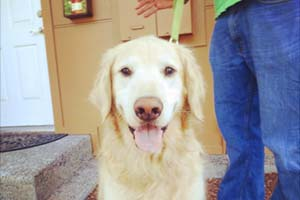 Golden Retrievers, SNIFF Seattle Dog Walkers Of Bellevue, Dog Walker 98007