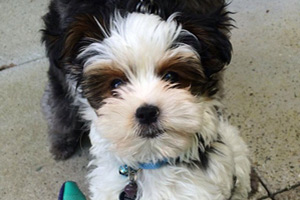 Mercer Island Puppy Care, Sniff Seattle Dog Walkers Of Bellevue, Puppies 98040