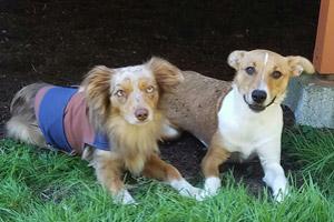 Aussie, Kirkland Dogs, Dog Walker 98034