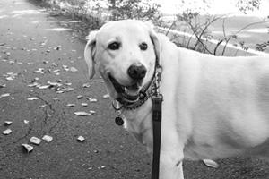 Bellevue Dog Walker, West Lake Sammammish Dog Walking, Yellow Labradors