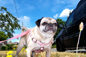 Seattle Pug Rescue, Sniff Seattle Dog Walkers, Greenwood (98117)