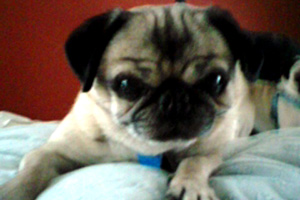 Sniff Seattle Bellevue Dog Walkers, Parfait the Pug, Seattle Pug Rescue