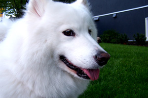 Dogs Queen Anne, Samoyeds, Sniff Seattle Bellevue Dog Walkers