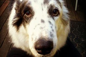 Pet Sitters 98155, Shepherds, Sniff Seattle Dog Sitters