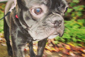 Sniff Seattle Pet Sitting, French Bulldogs, Dog Sitters