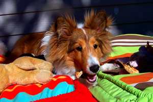 Dogs Shoreline WA, Sniff Seattle Shoreline Pet Sitting, Shetland Sheepdogs