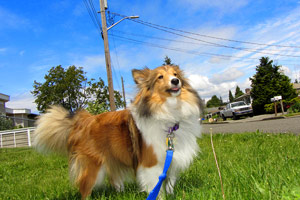 Shelties, Super Heroes, Sniff Seattle Bellevue Dog Walkers