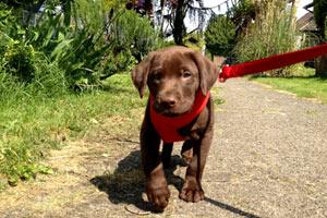 Dog Walking 98107, Labrador Puppies, Sniff Seattle