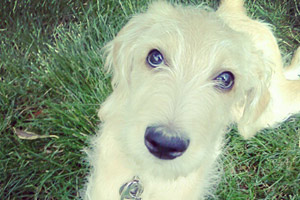 Sniff Seattle Bellevue Dog Walkers, Labradoodles, Pet Care 98103
