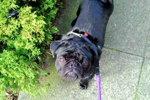 98119 Dog Walking, Sniff Seattle Bellevue, Pug