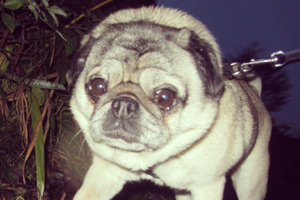 Dog Sitters Seattle, Pugs, Sniff Seattle Pet Sitting