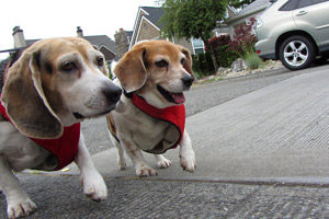 Pet Care Queen Anne, Sniff Seattle Bellevue Dog Walkers, Beagles