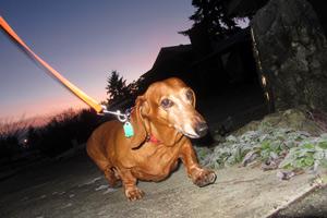 Dog Sitting Redmond, Sniff Seattle, Dachshunds