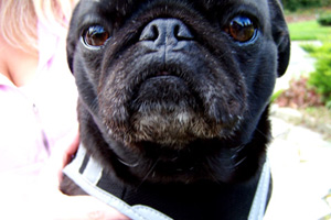 Pugs, Pet Sitter Seattle, Sniff Seattle