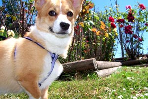 Magnolia Dog Walking, Sniff Seattle Bellevue Dog Walkers, Corgis