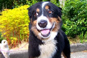 98117 Greenwood Dog Sitter, Australian Shepherds, Bellevue Seattle Dog Walkers