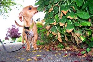 Pet Sitting Ballard (98107), Seigfried (Chihuahua-Mix), Sniff Seattle
