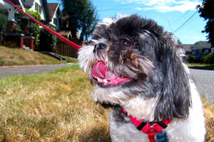 Henry The Shih Tzu, Best Greenwood Dog Walkers, Sniff Seattle Bellevue Dog Walkers