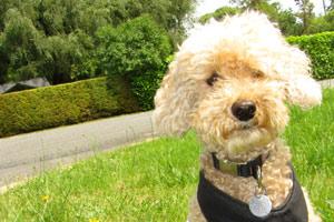 Poodles, Shoreline WA Dog Walking, Sniff Seattle