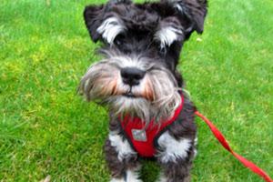 98155 Dog Walking, Sniff Seattle Bellevue Dog Walkers, Miniature Schnauzer Puppy