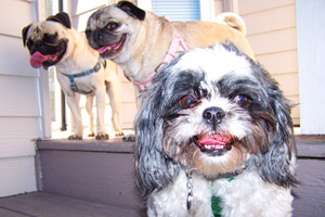 Seattle Bellevue Pet Care, Sniff Seattle, Pugs And Shih Tzus