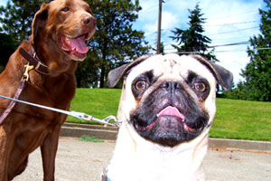 Greenwood 98117, Sniff Seattle, Funny Pugs