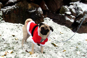 Stewie The Pug, Santa Paws, Dogs In Snow