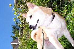Sniff Seattle Ballard, Pet Sitting 98107, Shiba Inu