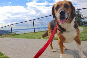 Sniff Seattle Ballard, Beagles, Sunset Hill Park