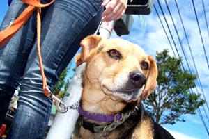 Dog Walkers 98102, Sniff Seattle Bellevue Dog Walkers, Beagles
