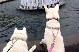Dog Walker 98121, Huskies, Father and Son Fountain