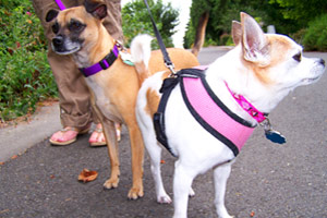 Dog Walking Northgate, Boxer (Dog), Dog Walkers 98125
