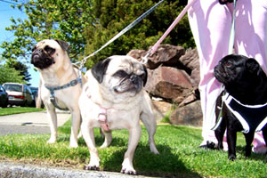 Pet Care Queen Anne, The Three Pugmigos, Bellevue Seattle Dogs