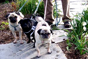 Sniff Seattle Bellevue Dog Walkers, Pugs, Woodland Park Rose Garden