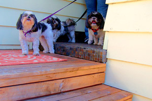 Greenwood Dog Walkers, Sniff Seattle Bellevue Dog Walkers, Three Shih Tzus